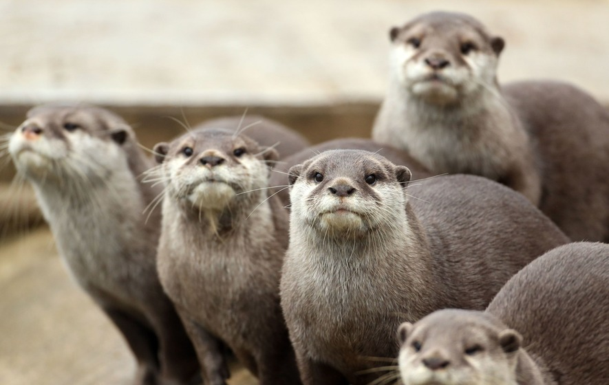 Could otters who juggle rocks be hungry and excited to eat?