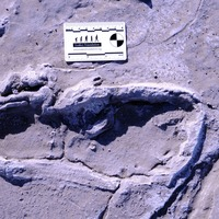 Fossil footprints suggest humans divided labour between sexes 19,000 years ago