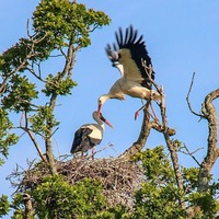 Wild white storks hatch in UK for first time in centuries
