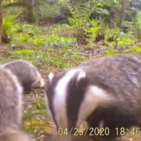 Badger cubs and otters reclaim Mount Stewart estate during lockdown