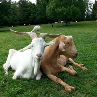 Goats understand pointing gestures, study suggests