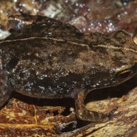 Newly discovered frog species already critically endangered