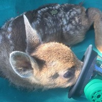 Firefighters praised for saving baby deer with oxygen mask