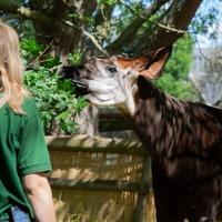 Okapi kicks inside mother's womb as London Zoo prepares to welcome arrival