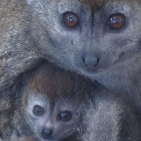 Video: Rare lemur born at British zoo