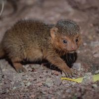 Tiny dwarf mongoose triplets born at Chester Zoo