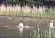 Swan 'reunited' with cygnets after becoming trapped in rope