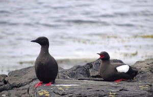 Take on Nature: Regarding the black guillemot... from a distance