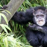 Chimpanzee lip smacks offer new insight into the evolution of human speech