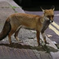 Urban red foxes 'becoming more similar to domesticated dogs'