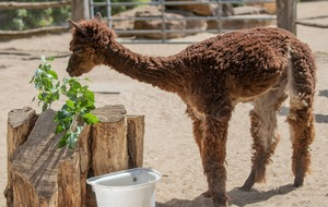 Alpaca at London Zoo keeps cool with new haircut