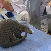 Pangolin released into wild under China's new protections