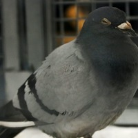 Stowaway pigeon poses new test for crew of Royal Navy aircraft carrier