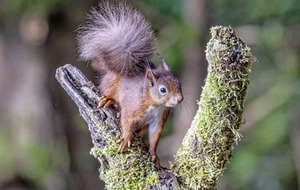 Take on Nature: Our native Irish red squirrels are making a comeback