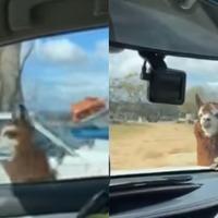 'Guard llama' chases police car in Australia