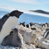 Antarctic penguins 'happier with less sea ice'