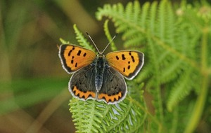 Gardening: Weird and wonderful butterflies and moths to spot this summer