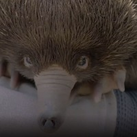 In Video: San Diego Zoo welcomes baby echidna