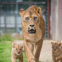 Lion cubs take first steps outside after lockdown