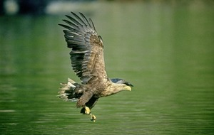 Take on Nature: The eagles have landed as raptors continue to recover throughout Ireland