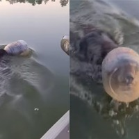 Bear swimming through lake with a jar stuck on its head freed by passing family