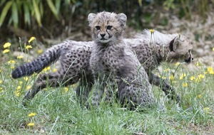 Cheetah cubs emerge from their den for the first time
