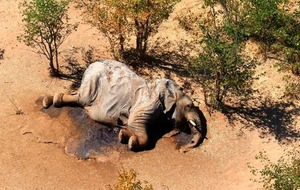 Botswana investigating 'mysterious deaths' of hundreds of elephants