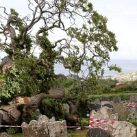 Tree dating back more than 430 years and linked to Spanish Armada has fallen in Co Antrim