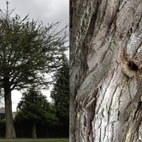 Suspected poisoning of 150 year old tree to be investigated