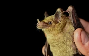 Study sheds light on famous tequila bat