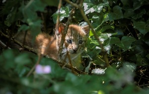 First glimpse of cute lynx kittens born at British zoo