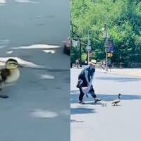 'Beautiful moment' politician helps ducklings cross busy road
