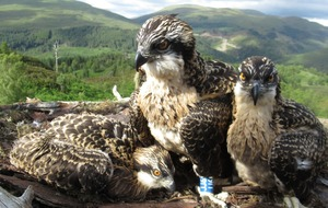Osprey chicks to be named by public as genders revealed