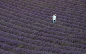 In Pictures: Purple haze as lavender blooms in Sussex