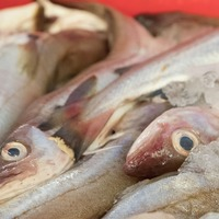 Scientists create genetically modified plant as alternative to fish oils