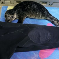 Dozens of seals rescued by 'fake mums' in innovative wetsuit creation