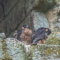Breeding success for peregrine falcons at National Trust sites
