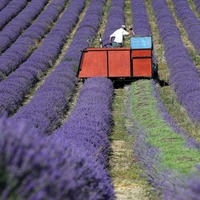 In Video: A cut above as lavender harvest gets under way in West Sussex