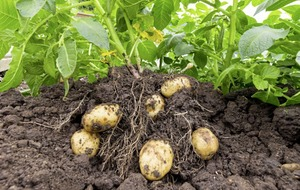 Gardening: How to boost your veg patch through crop rotation