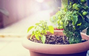 Gardening: Six mistakes to avoid when growing veg in containers