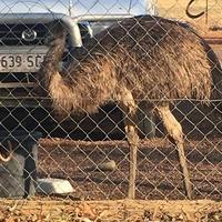 Australian Outback pub bans messy emus for 'bad behaviour'