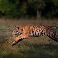 Conservationists hail 'remarkable comeback' of tigers in five countries