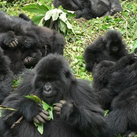 Gorilla relationships limited in large groups, study suggests