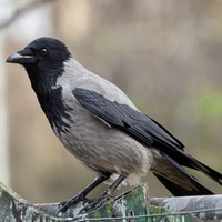 Stephen Colton's Take on Nature: The battle crow could teach us a thing or two too