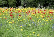 Conservation policy proposed after wildflower patch at Coalisland Recycling Centre mowed