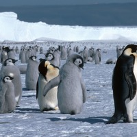 New emperor penguin colonies found in Antarctica