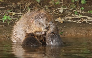 England's first wild beavers in 400 years allowed to stay on river home