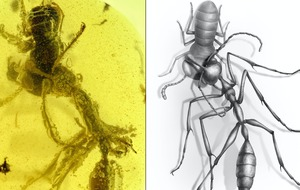 Ancient 'hell ant' in midst of devouring prey found preserved in amber