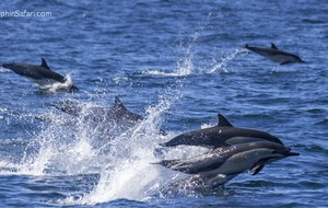 Dolphin stampede greets California whale watchers