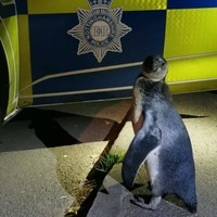 Police pick up penguin spotted 'plodding' up village street
